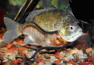 https://bio-orbis.blogspot.com.br/2013/12/peixe-vampiro.html