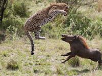 Babi Hutan Serang Macan Tutul, Hasil Akhirnya Mengejutkan