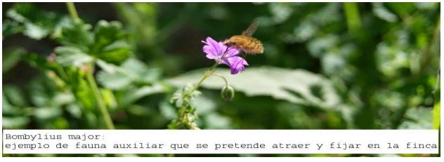 Bombylius major. Fauna auxiliar polinizadora. Asturias