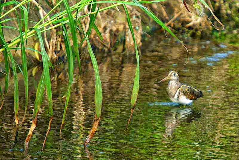 Snipe in water
