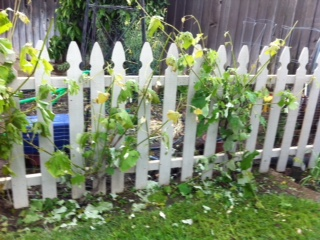 Grapes growing on the white fence.
