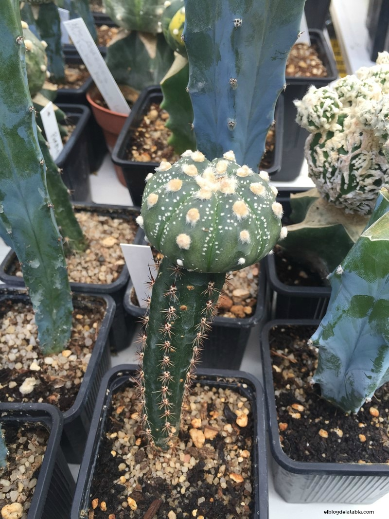 Astrophytum asterias injertado