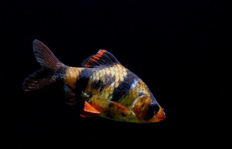 Ikan Yang Peka Terhadap Garam Ikan Atau Garam Akuarium-Sumatra Barb