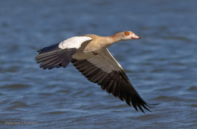 Egyptian Goose in Flight : Recovering feather detail / Under-Wing Shadow reduction