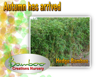 Bamboo creations victoria have hedge bamboo on special in autumn