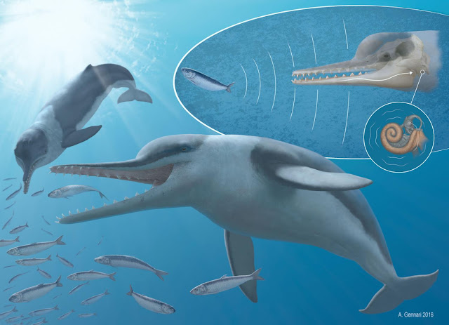 Whales' ultrasonic hearing has surprisingly ancient history, fossilized ear shows