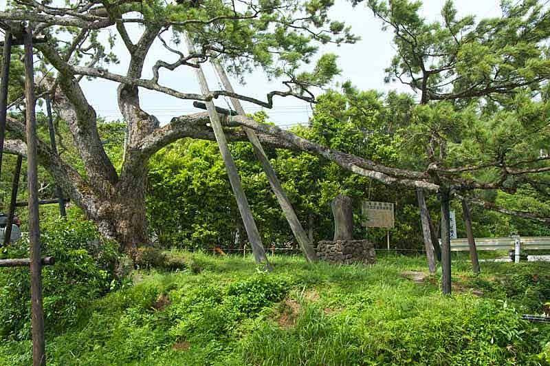 Pinus luchuensis,Okinawa Pine