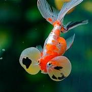 Jenis Ikan Koki cantik