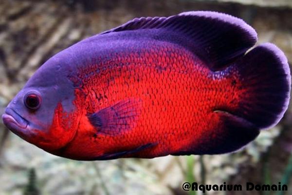 Ikan Oscar Red / Merah