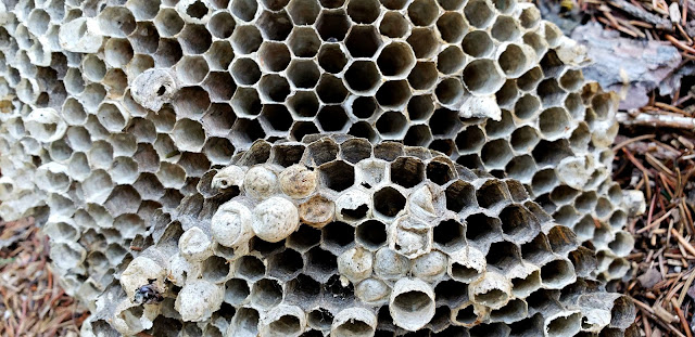 July 25, 2018 Getting up close and personal with an old hornet's nest