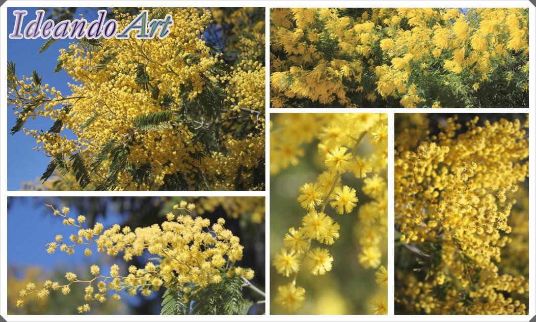 Mimosas en flor