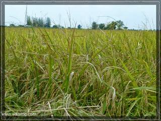 Reisfeld kurz vor der Ernte in Thailand