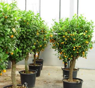 Cara penanaman dan perawatan tanaman tambulapot agar cepat berbuah