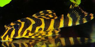 Ikan Sapu-Sapu Hias Leopard Frog Pleco