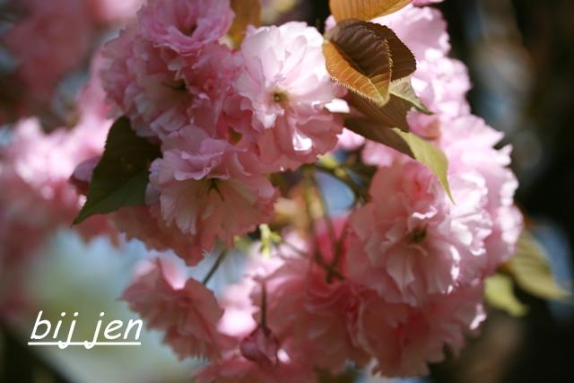 Kirschblüte, Cherryblossom
