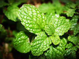 Mint leaves treatment for dark circles