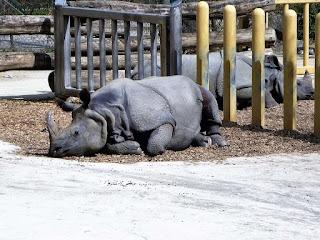 rinoceri sezand pe jos