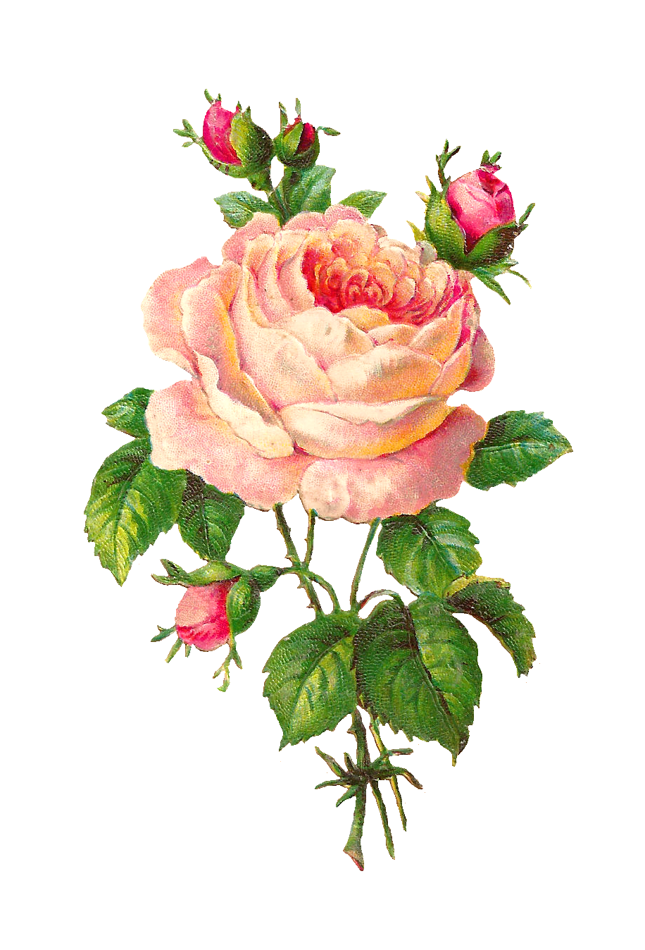 Antique Images: Flower Scrapbooking Pink Rose with Buds ...