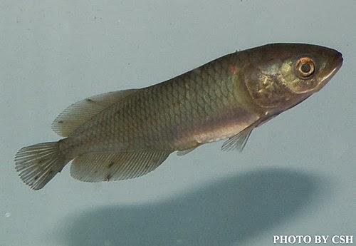 金魚快訊部落格Goldfish message blog: 非洲黑龍(Heterotis niloticus)