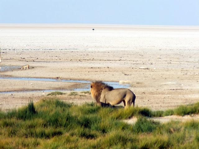 leones en Etosha