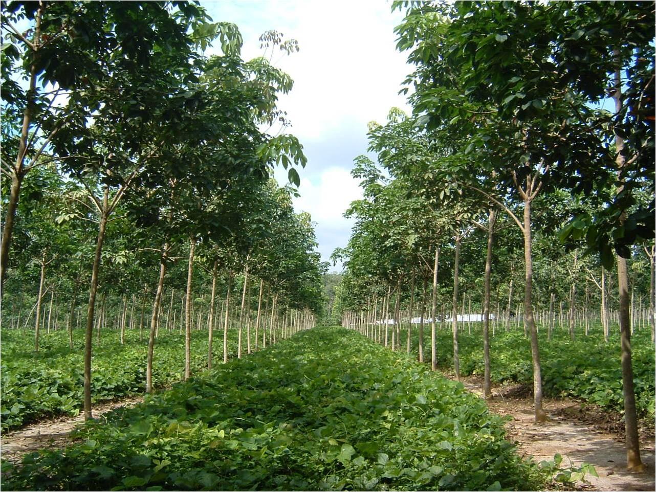 Rubber Tree  Amazing Indonesia