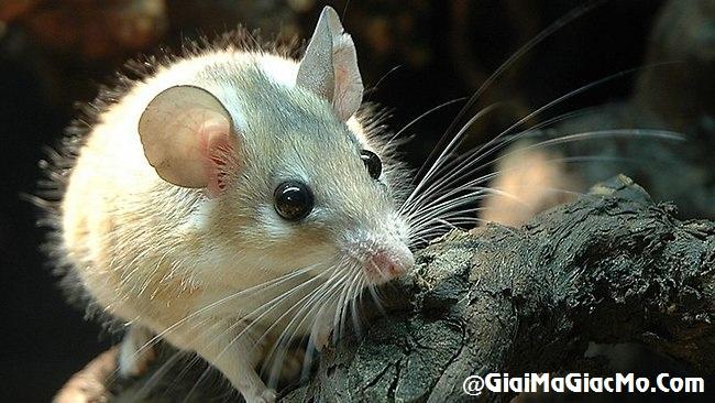 Giải mã giấc mơ thấy Chuột & ngủ nằm mơ thấy con Chuột