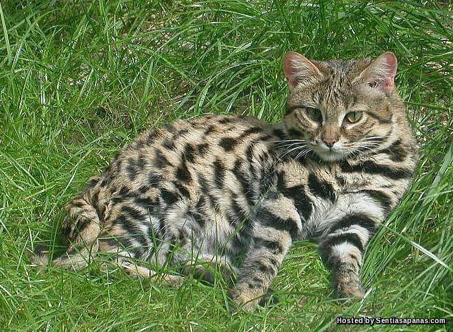 7 Baka Kucing Paling Sukar Ditemui di Dunia