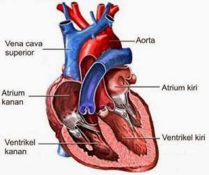 Jantung, Organ Paling Vital Dalam Tubuh Manusia