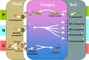 symbiotic relationship between plants and mycorrhizae definition