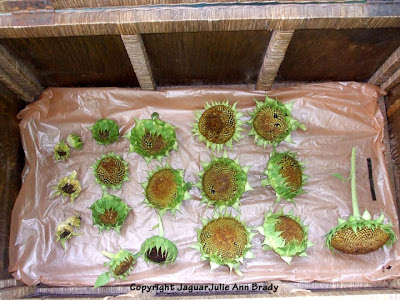 Drying 19 Sunflower Heads for Seeds in a Large Wicker Chest