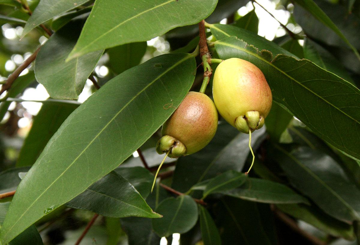 Syzygium Jambos MelaRosa Topic Ufficiale