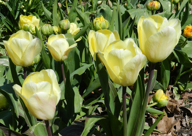 The Case of the Mysterious Yellow Tulips