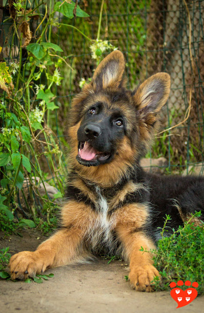A very cute German Shepherd puppy in a garden
