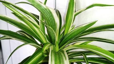 Como cuidar o Clorofito - Chlorophytum comosum