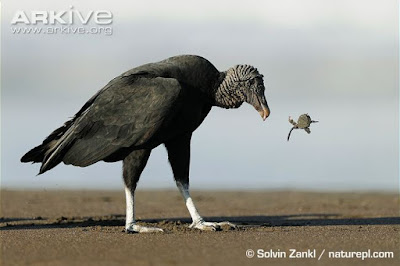 Turtle and Vulture