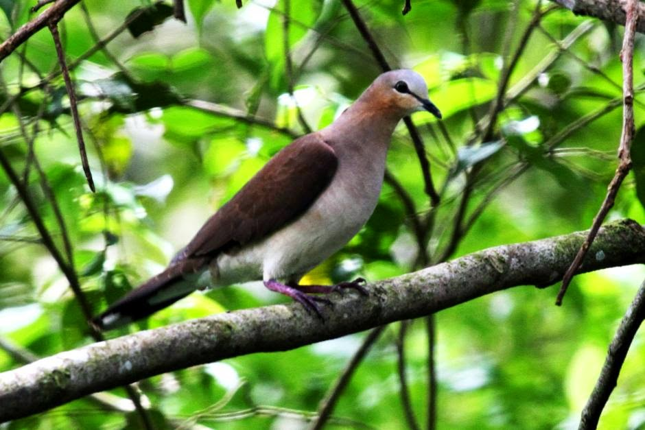 Grey fronted dove