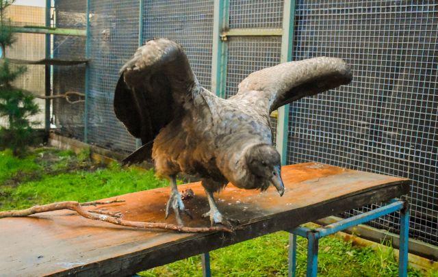 Cóndor es rehabilitado en Centro Universitario de Puerto Montt
