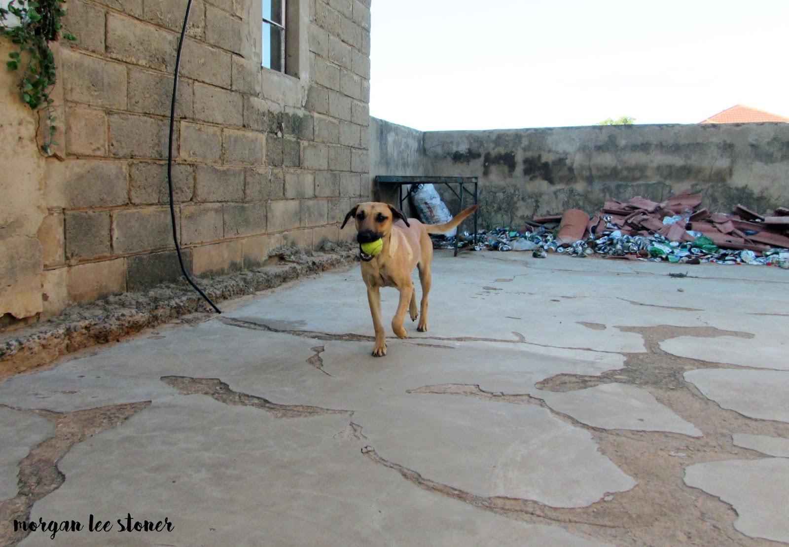 meet ginger an african village dog