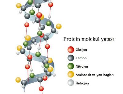 Proteinin Molekül Yapısı