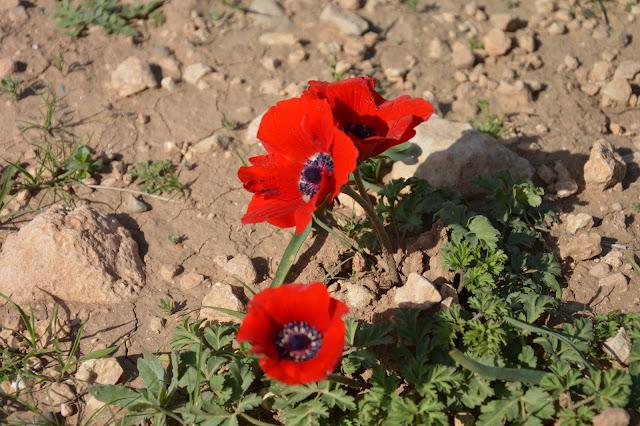 fleurs de la vallée du jourdain