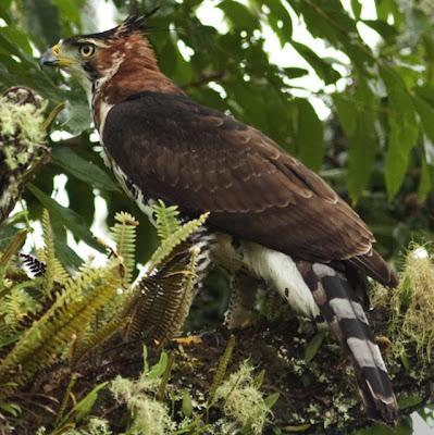 aguilas en argentina Águila crestuda real Spizaetus ornatus