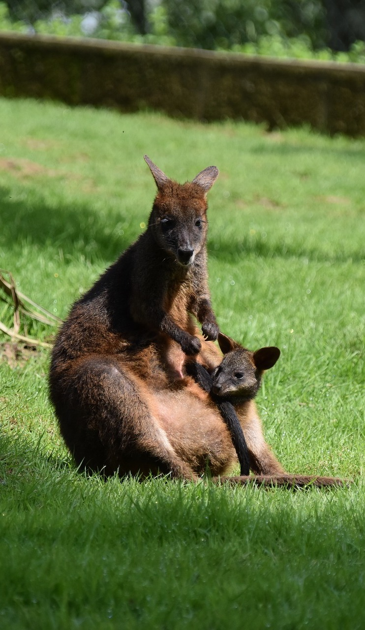 Baby kangaroo in mothers pouch.