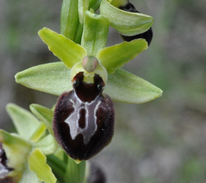 Ophrys exaltata subsp.marzula