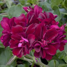 geranium%2BBig%2Bburgundy.png