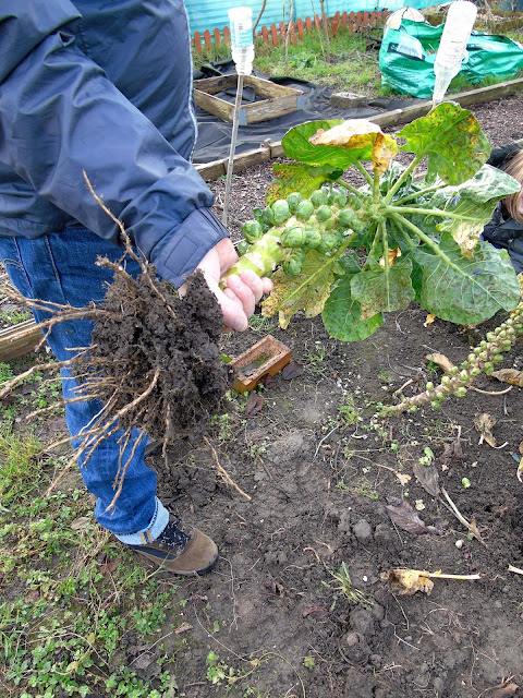 harvesting brussel sprout trees on our allotment