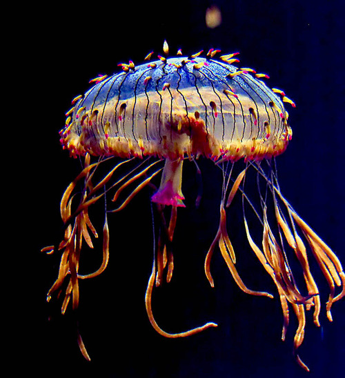 flower hat jellyfish - photo #1