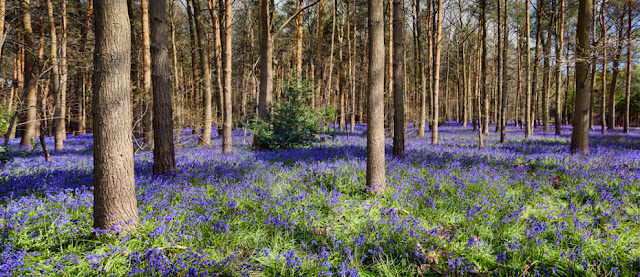 Bluebells in the sunshine in Warwickshire By Martyn Ferry Photography