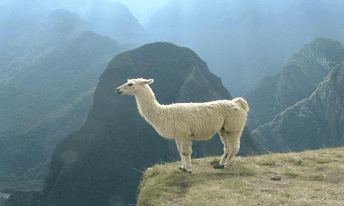 Lama Nasıl Bir Hayvan? Özellikleri