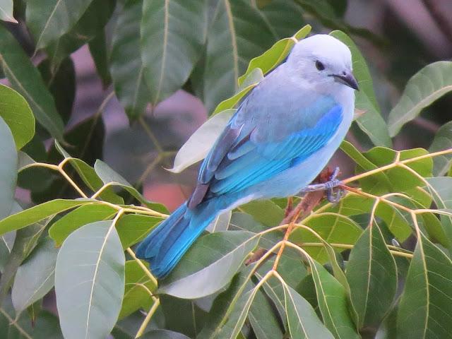 AVES DE VENEZUELA Y EL MUNDO pedro romero ramos Azulejo