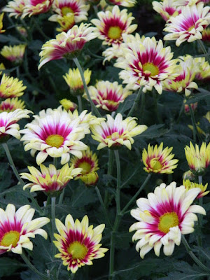 Purple centred white single mums at 2016 Allan Gardens Conservatory  Fall Chrysanthemum Show by garden muses-not another Toronto gardening blog